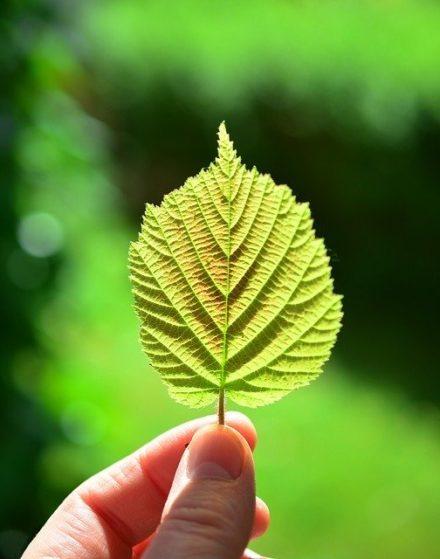 Chlorophyll gesund